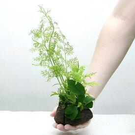 (水草)Plants Arrangement ザ ボンサイ Ver.35(1個)