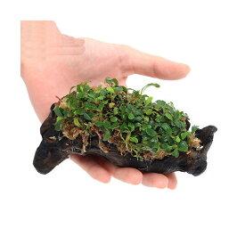 (水草)おまかせブセファランドラ付流木 Sサイズ 水苔付き(水上葉)(無農薬)(インボイス)(1個)
