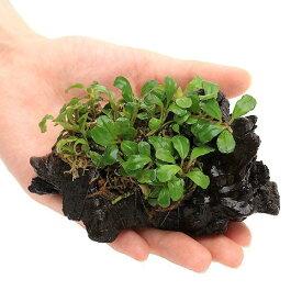 (水草)おまかせブセファランドラ付流木 Sサイズ(水上葉)(無農薬)(インボイス)(1個)