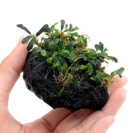(水草)おまかせブセファランドラ付溶岩石 SSサイズ(水上葉)(無農薬)(インボイス)(1個)