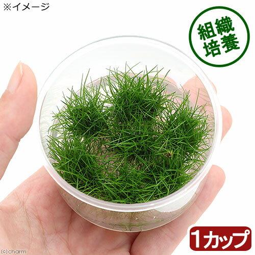 (水草)組織培養 ヘアーグラスショート(無農薬)(1カップ) 北海道航空便要保温