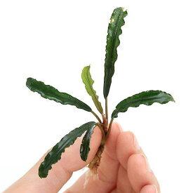(水草)ブセファランドラsp.Belindae(無農薬)(水上葉)(インボイス)(1株)