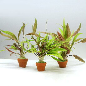 (水草)おまかせクリプトコリネ寄せ植えプチ素焼鉢(無農薬)(水中葉)(1個)