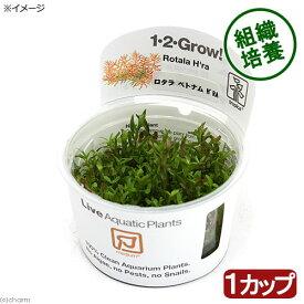 (水草)組織培養1−2−GROW! ロタラ ロトンディフォリア ベトナム H'ra トロピカ製(無農薬)(1カップ)