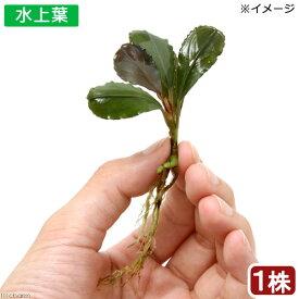 (水草)ブセファランドラsp.Hadesu Kapuas hulu産 (無農薬)(水上葉)(インボイス)(1株)