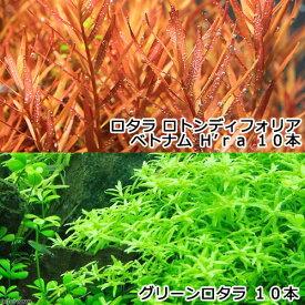 (水草)グリーンロタラ(10)+ロタラ ロトンディフォリア ベトナム H'ra(10)