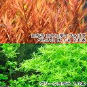 (水草)グリーンロタラ(20)+ロタラ ロトンディフォリア ベトナム H'ra(20)