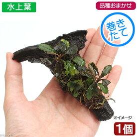 (水草)おまかせブセファランドラ付き流木 SSサイズ(水上葉)(無農薬)(インボイス)(1個)