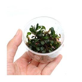 (水草)おまかせブセファランドラ(水上葉)(無農薬)(インボイス)(1カップ) 北海道航空便要保温