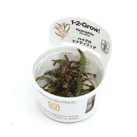 (水草)組織培養1−2−GROW! ハイグロフィラ ピンナティフィダ トロピカ製(無農薬)(1カップ)