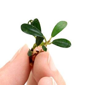 (水草)おまかせブセファランドラ1種(水上葉)(無農薬)(インボイス)(1株) 北海道航空便要保温