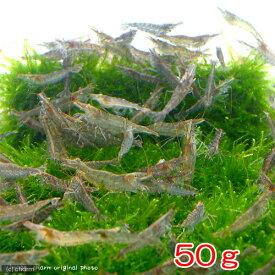 (エビ)ミナミヌマエビ(50g) 半分未満死着は保証なし 北海道航空便要保温