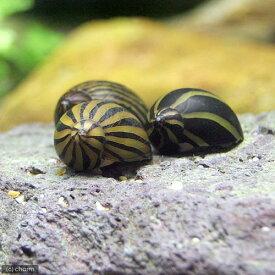 (エビ・貝)シマカノコ貝(10匹)