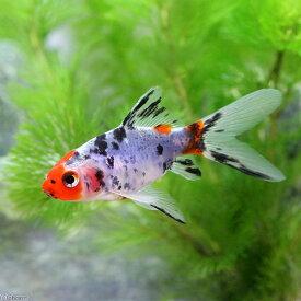(国産金魚)朱文金(3匹)