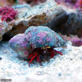 (海水魚)ヤドカリ スカーレットリーフハーミットクラブ(1匹)