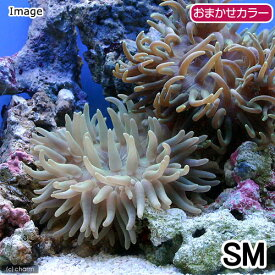 (海水魚)ロングテンタクルアネモネ おまかせカラー S−Mサイズ(1匹)無脊椎動物 北海道航空便要保温