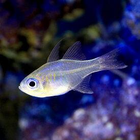 (海水魚)沖縄産 イトヒキテンジクダイ(1匹) 北海道・九州航空便要保温