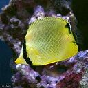 (海水魚)アミチョウチョウウオ(1匹)