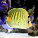 (海水魚)シチセンチョウチョウウオ(1匹)