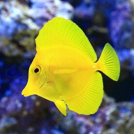 (海水魚)キイロハギ(1匹)