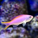 (海水魚)パープルクィーンアンティアス(1匹)