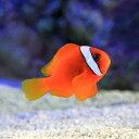 (海水魚)ハマクマノミ(ワイルド)(1匹) 北海道・九州・沖縄航空便要保温