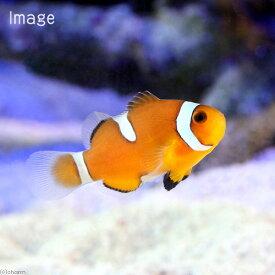 (海水魚)カクレクマノミ イレギュラーバンド(国産ブリード)(1匹)熱帯魚