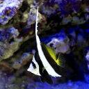 (海水魚)ハタタテダイ(1匹) チョウチョウウオ