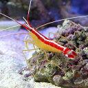 (海水魚 エビ)スカンクシュリンプ Mサイズ(1匹)