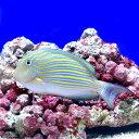 (海水魚)ニジハギ(1匹)