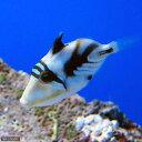 (海水魚)ムラサメモンガラ(1匹)