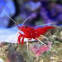 (海水魚 エビ)ホワイトソックスシュリンプ ミックスサイズ(1匹)