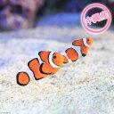 (海水魚)沖縄産 カクレクマノミ(ワイルド)(1ペア) 北海道・九州・沖縄航空便要保温