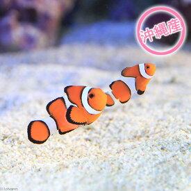 (海水魚)沖縄産 カクレクマノミ ペア(ワイルド)(1ペア) 沖縄別途送料