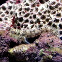 (海水魚)カエルウオミックス S−Mサイズ(1匹) 北海道・九州・沖縄航空便要保温