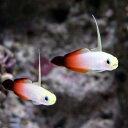 (海水魚)沖縄産 ハタタテハゼ(1匹)