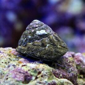 (海水魚)貝 シッタカ貝 ミックスサイズ(10匹) 北海道・九州航空便要保温