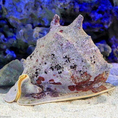 (海水魚 貝 無脊椎)トウカムリ XLサイズ(1匹)