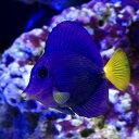 (海水魚)パープルタン(1匹)