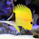 (海水魚)フエヤッコダイ(1匹) チョウチョウウオ