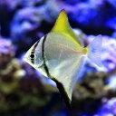 (海水魚)ヒメツバメウオ(モノダクティルス)(1匹) 北海道・九州・沖縄航空便要保温