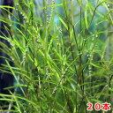(水草)カモガワモ(無農薬)(20本)