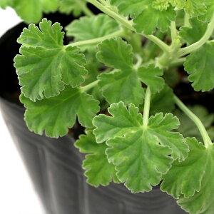 (観葉植物)ハーブ苗 ゼラニウム ナツメグゴ−ルデン 3号(1ポット) 家庭菜園 アロマ