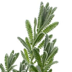 (観葉植物)ハーブ苗 ラベンダー フレンチラベンダー デンタータ ランビケンス 3号(1ポット) 家庭菜園