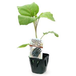 (観葉植物)野菜苗 ナス みちのく野菜 仙台長なす 3号(3ポット) 伝統野菜 家庭菜園