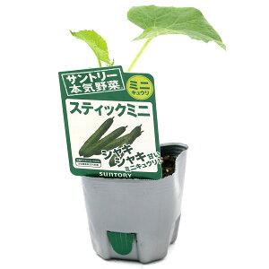 (観葉植物)サントリー 野菜苗 キュウリ スティックミニキュウリ 3号(1ポット) 家庭菜園