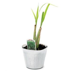 (観葉植物)ハーブ苗レモングラス3.5号(1ポット)家庭菜園北海道冬季発送不可【HLS_DU】
