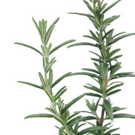(観葉植物)ハーブ苗 ローズマリー ロックウッドフォレスト 半匍匐性 3号(1ポット) 家庭菜園