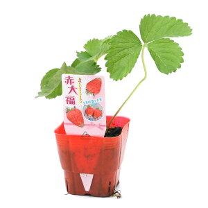 (観葉植物)野菜苗 イチゴ 赤大福 3号(1ポット) 家庭菜園 いちご苗 北海道冬季発送不可