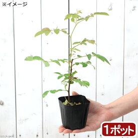 (観葉植物)ハーブ苗 ローズ アップル(ロサ・ポミフェラ) 3号(1ポット) 家庭菜園